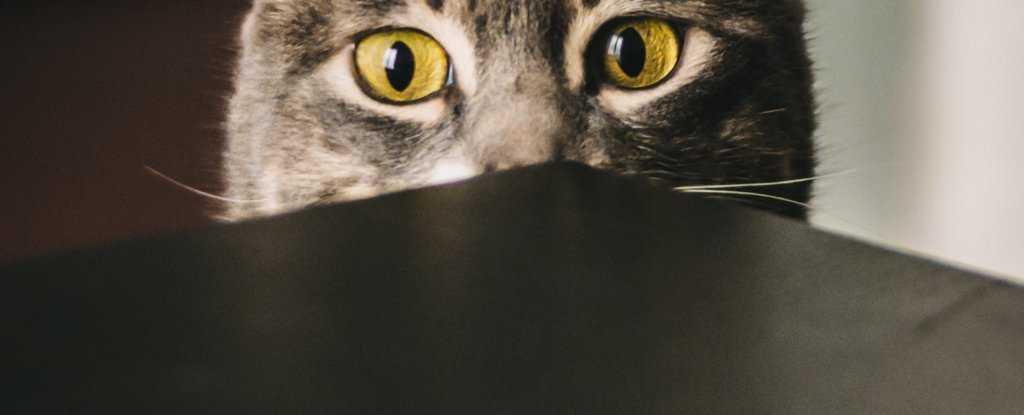如果你的猫神经质,科学家说它可能只是在模仿你-有意思吧