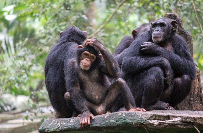 关于黑猩猩的10个令人惊讶的事实-有意思吧