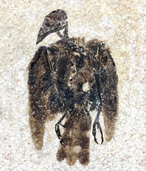 这只鸟的羽毛保存了5200万年-有意思吧
