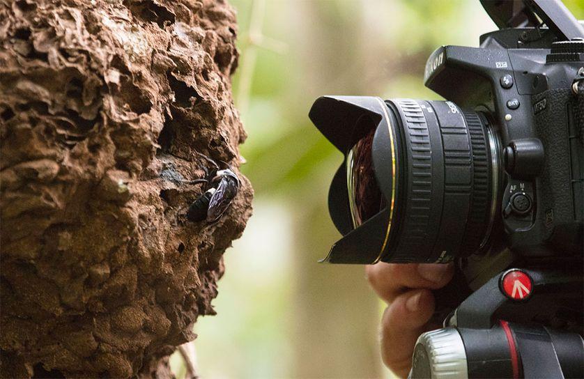 科学家们重新发现了世界上最大的蜜蜂-有意思吧