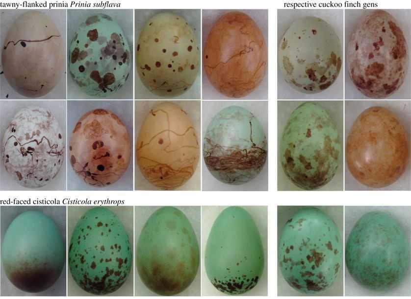 这些蛋揭示了牛仔鸟和嘲鸫之间的斗智-有意思吧