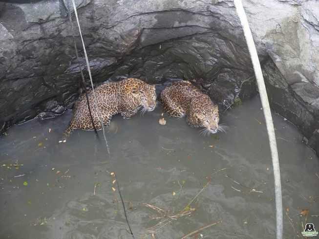 当美洲豹掉进50英尺深的井里时,它们之间的斗争就结束了-有意思吧
