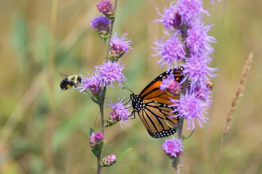 一项新的研究发现,减少割草的次数可以让当地的蜜蜂受益-有意思吧